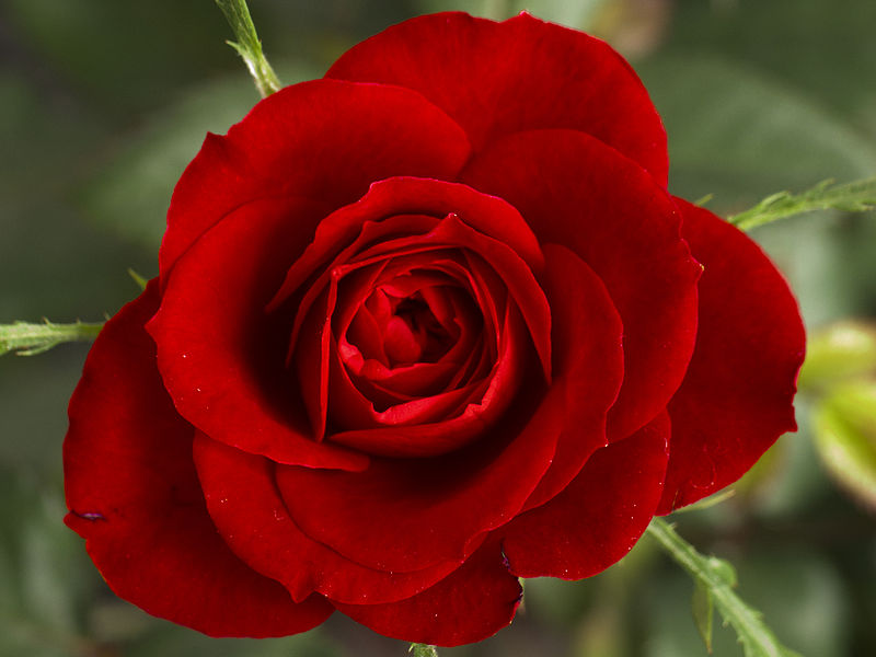 red wedding rose